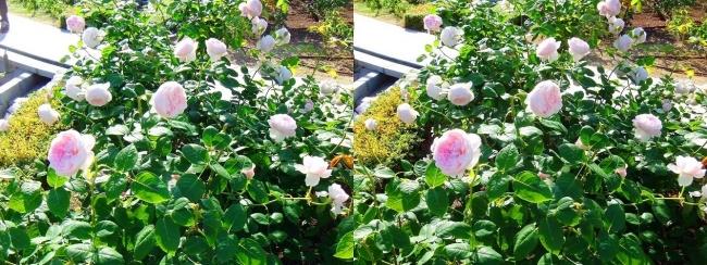 中之島公園 バラ園 桜色②(交差法)