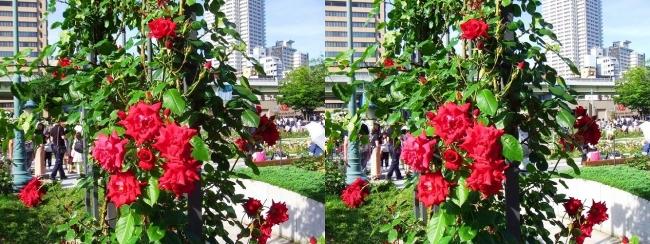 中之島公園 バラ園 紅色①(平行法)