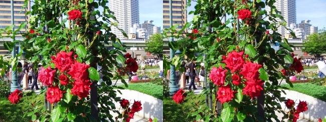 中之島公園 バラ園 紅色①(交差法)