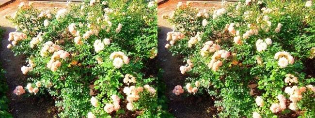 中之島公園 バラ園 橙色①(交差法)