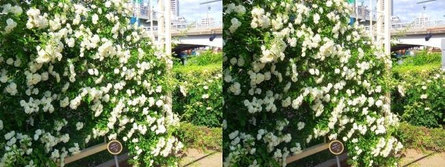 中之島公園 バラ園 白色①(交差法)