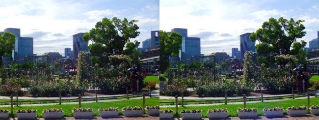 中之島公園 バラ園①(平行法)