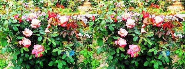 花博記念公園鶴見緑地 バラ園 橙色③(交差法)
