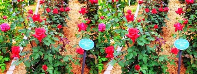 花博記念公園鶴見緑地 バラ園 赤色③(平行法)