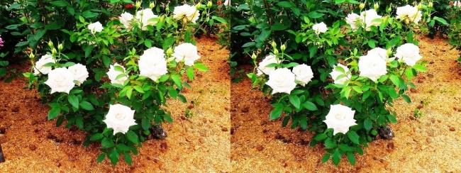 花博記念公園鶴見緑地 バラ園 白色③(平行法)