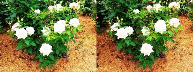 花博記念公園鶴見緑地 バラ園 白色③(交差法)