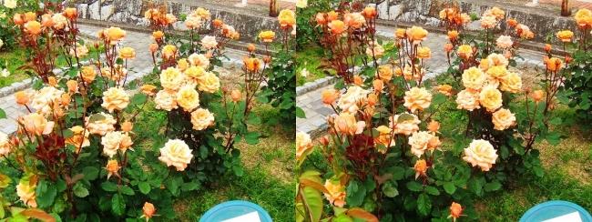 花博記念公園鶴見緑地 バラ園 橙色②(交差法)
