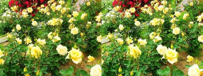 花博記念公園鶴見緑地 バラ園 黄色②(平行法)
