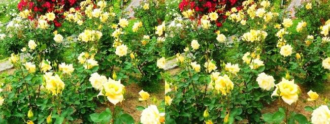 花博記念公園鶴見緑地 バラ園 黄色②(交差法)