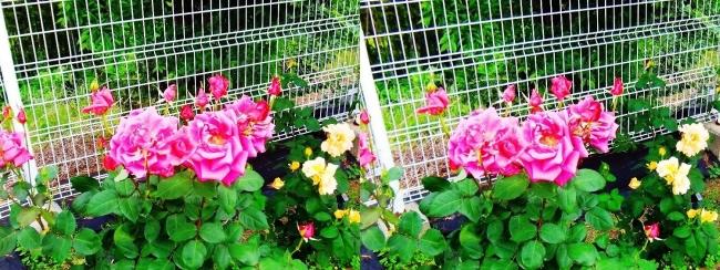 花博記念公園鶴見緑地 バラ園 紅色②(平行法)
