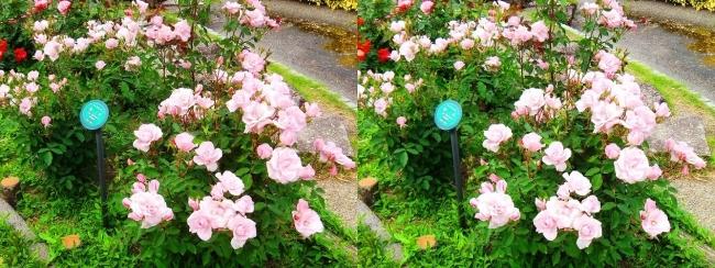 花博記念公園鶴見緑地 バラ園 桃色①(平行法)