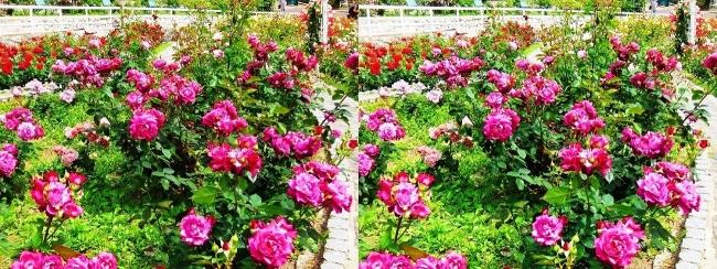 花博記念公園鶴見緑地 バラ園 紫色②(平行法)