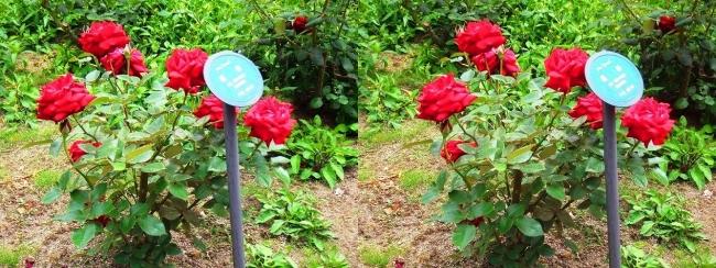 花博記念公園鶴見緑地 バラ園 赤色②(交差法)