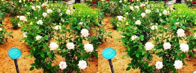 花博記念公園鶴見緑地 バラ園 白色②(平行法)