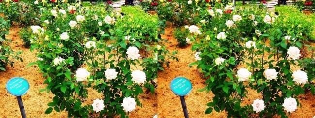 花博記念公園鶴見緑地 バラ園 白色②(交差法)