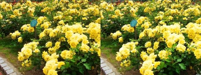 花博記念公園鶴見緑地 バラ園 黄色①(平行法)