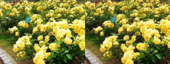 花博記念公園鶴見緑地 バラ園 黄色①(交差法)