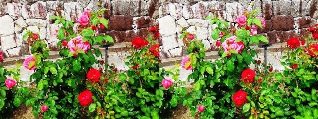 花博記念公園鶴見緑地 バラ園 紅色①(平行法)