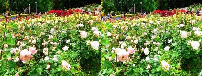花博記念公園鶴見緑地 バラ園 桜色①(平行法)