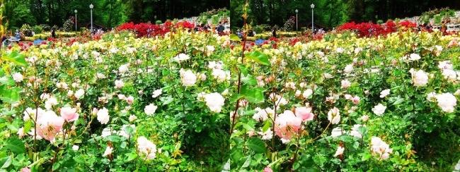花博記念公園鶴見緑地 バラ園 桜色①(交差法)