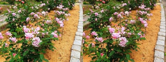 花博記念公園鶴見緑地 バラ園 紫色①(交差法)