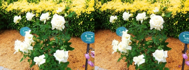 花博記念公園鶴見緑地 バラ園 白色①(交差法)