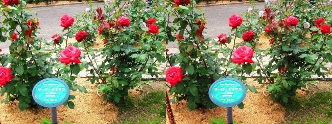 花博記念公園鶴見緑地 バラ園 赤色①(交差法)
