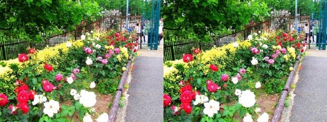 花博記念公園鶴見緑地 バラ園②(平行法)