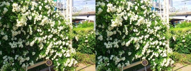 中之島公園 バラ園 白色①(平行法)