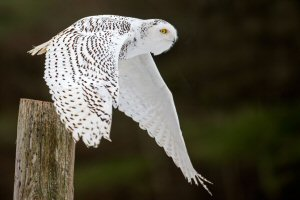 03b 300 snowy owl