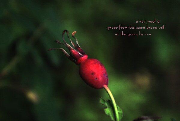 04a 600 20150906 (日) a red rosehip