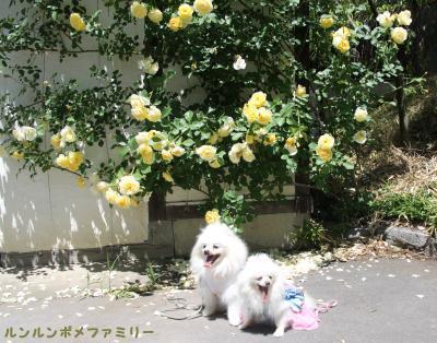 黄色いバラの前で