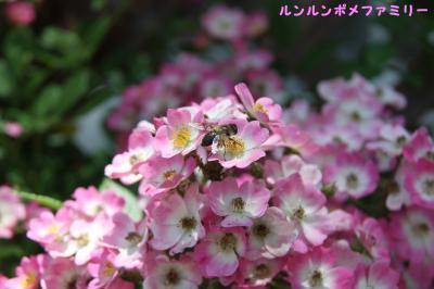 ピンクのバラと蜂