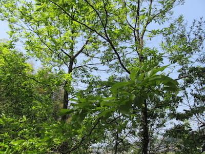 クヌギの木