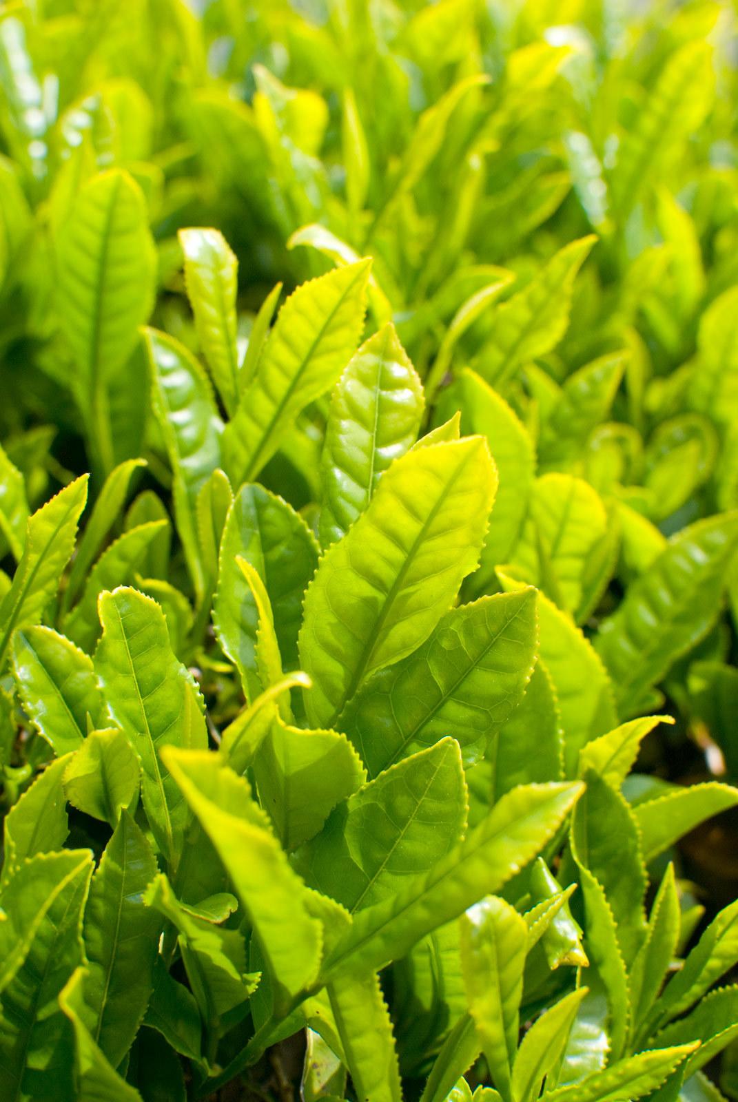 お茶の葉6_m