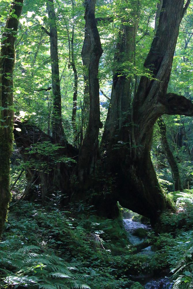 20180714大きな木