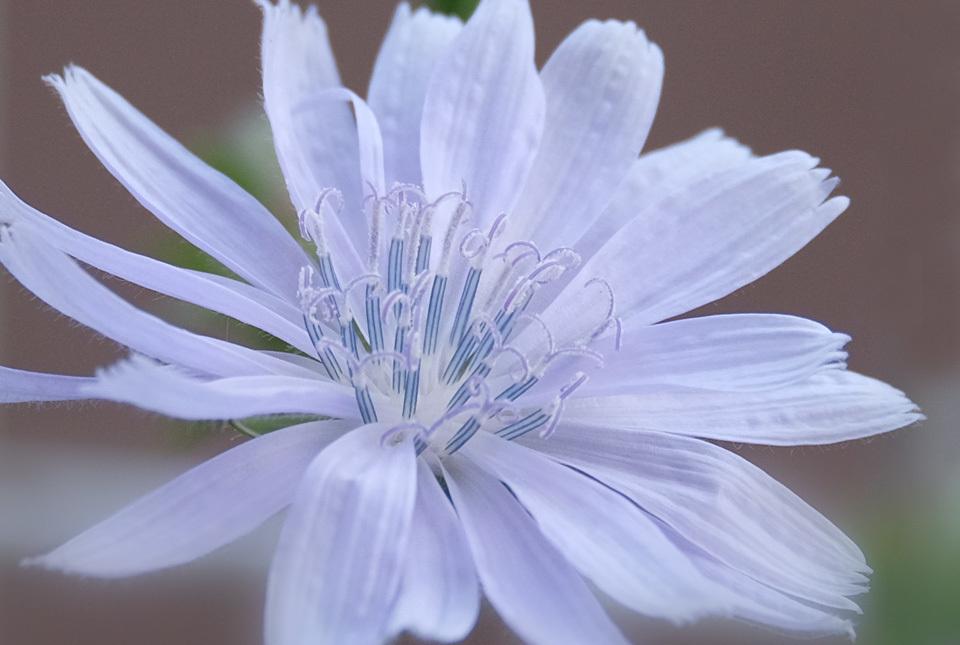 3324 チコリの花 960×645