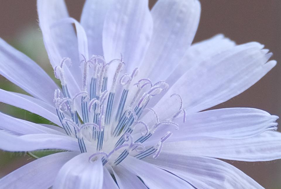 3324 チコリの花2 960×645