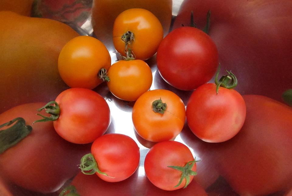 5177 トマト収穫 960×645