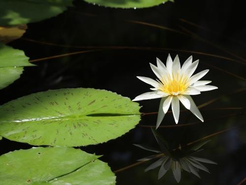 水に映る睡蓮