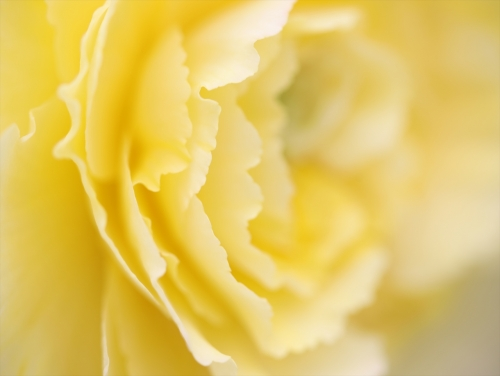黄色のベコニア