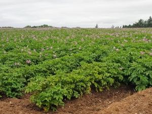 potatofield0718