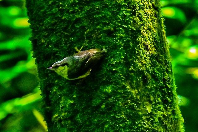 ゴソゴソとゴジュウカラ幼鳥