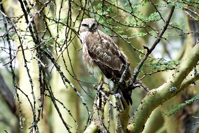 DSCF3622マダラノスリ Mountain Buzzard