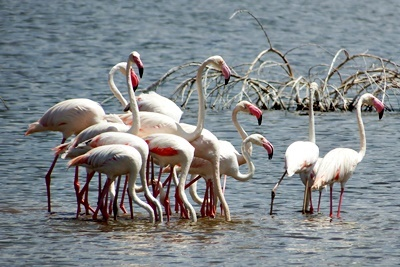 DSCF3958オオフラミンゴGreater Flamingo