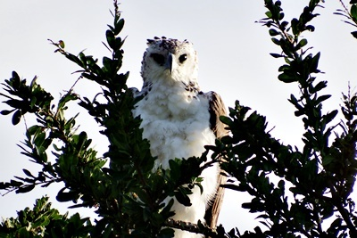 DSCF4991カンムリクマタカCrowned Hawk-Eagle