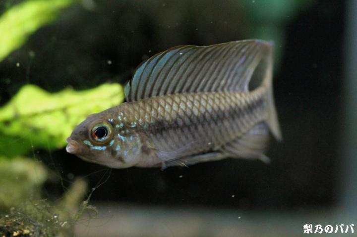 A.ベリフェラ♂17