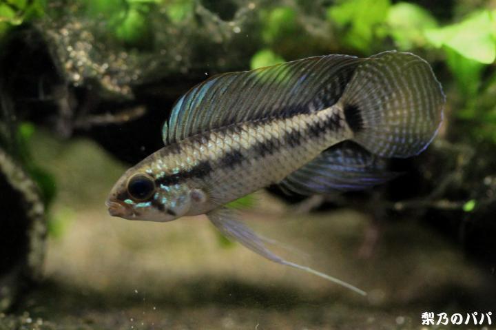 A.ベリフェラ♂18
