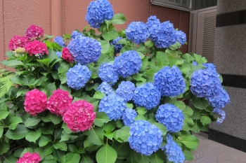 紫陽花IMG_0792