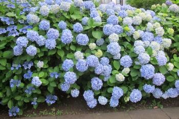紫陽花IMG_0205